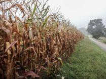 Corn fields in a foggy day. Photo by Cris Juarez