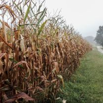 Corn fields in a foggy day. Photo by Cris Juarez