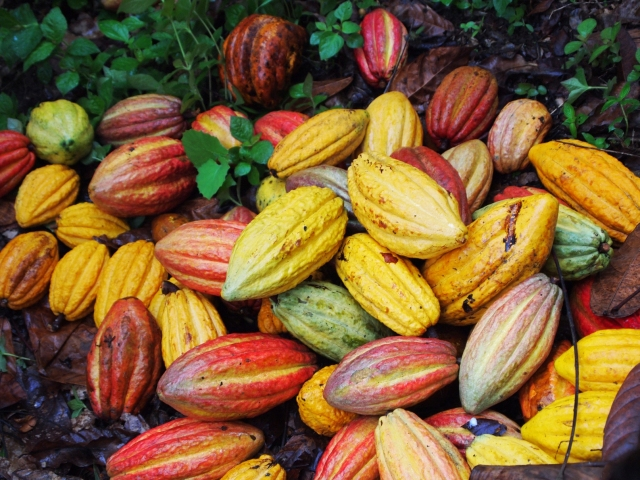 Cacao fruit of varying stages of maturity. Photo credit to pimentona.