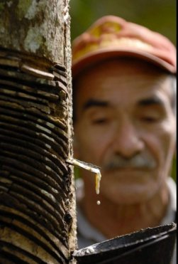 Rubber Tapping, Brazilian Amazon.Thomas J. Müller
